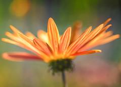 Daisy (mclcbooks) Tags: flower flowers floral macro closeup daisy daisies denverbotanicgardens colorado focusstacking zerenestacker
