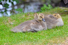 On the Grass (Neal D) Tags: bc abbotsford fishtrapcreekpark bird goose canadagoose gosling brantacanadensis