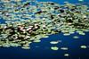 6M7A2038 (hallbæck) Tags: åkander seerosen néuphars natur nature flowers flore fleur plant hørsholm denmark sø see lake lec sommer summer hørsholmslotshave water waterlilies waterlilly