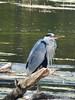 101_0444 (Elisabeth patchwork) Tags: bird reiher heron vienna wasserpark floridsdorf