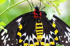 Birdwing Butterfly (dpsager) Tags: birdwingbutterfly butterflies butterfly chicago dpsagerphotography judyistockbutterflyhaven metabones peggynotebaertnaturemuseum vividstriking
