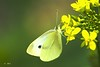 All Yellow (Greet N.) Tags: animal insect butterfly fauna nature largewhite macro