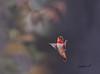 Treading Air (♞Jenny♞) Tags: hummingbird jennygrimm floating light upward movement specanimal