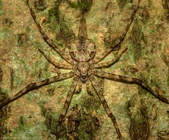 Tamopsis brisbanensis (dustaway) Tags: arthropoda arachnida araneae araneomorphae hersiliidae tamopsisbrisbanensis longspinneretbarkspider rprr rotaryparkrainforestreserve lismore nature northernrivers nsw australia