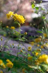 Mustard (CapturedPixels_) Tags: yellow mustard floral morning sun