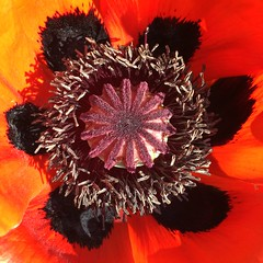 (hannemiriam) Tags: seeds garden denmark danmark photo abstract nature square petals upclose red flower valmue poppy plant iphone