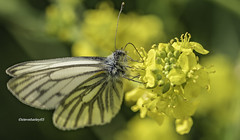 Green-veined White butterfly-Pieris napi on wild mustard flowers (stevenbailey7) Tags: butterflies butterfly pierisnapi insects nature yellow colour colourful colours nikon tamron dof wildlife detail new spring flora garden flickr flower flowers greenveined light d750 pose