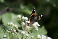 "redadmiral_bee • <a style=""font-size:0.8em;"" href=""http://www.flickr.com/photos/157241634@N04/27812020587/"" target=""_blank"">View on Flickr</a>"