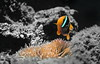 Out of anemones (kyshokada) Tags: animalplanet mamanuca mamanucaislands dive diving underwater anemonefish seaanemone clownfish nemo a7 sony reef pacific symbiosis