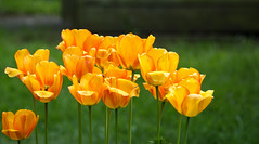 in the sunshine (maj-lis photo) Tags: tulips yellow flowers nature sunny