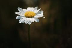 entre ombre et lumière (christophe.laigle) Tags: bokeh christophelaigle pluie flower daisy light drops macro pâquerette nature gouttes fuji fleur blanc lumière xpro2 xf60mm white
