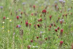 DN9A4452 (Josette Veltman) Tags: dravogel tuinen homeopatisch harde tharde gelderland garden herbs kruiden medicinaal vlinders groen natuur nature inkarnaatklaver phacelia bijenbrood