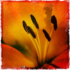 Feelings for Flowers (Rantz) Tags: rantz mobilography 365 roger doesanyonereadtagsanymore canberra australiancapitalterritory orange flower kodotxgrizzledfilm hipstamatic flowers johnslens