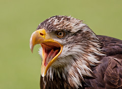 Bald eagle (Michal Jeska) Tags: bald eagle adler seeadler weiskopfseeadler rabvogel bird prey canon eos 40d canonef400mmf56lusm 400mm 56 l