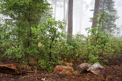 Foggy morning on the Mogollon Rim (jackielynn831) Tags: nikon mogollonrim arizona clouds trees landscape nature storm forest fog