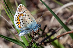 VM12 Silver Studded Blue S4 - John French (John French 108) Tags: butterfly heathland heather newforest insect lepidoptera blue nature wildlife silver