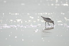 DSC_9337 (padraicsmeehan) Tags: beach sunandsurf sand birds coast longisland atlanticbeach ny newyork unitedstates usa america beachclub pipingplover charadriusmelodus shorebirds coastal southshore wading ocean atlanticocean