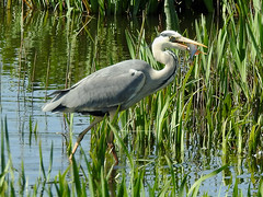 Breakfast is served (Magic Moments by Pippa) Tags: british wildlife nature nikon p900 rspb minsmere birds heron fish fishing