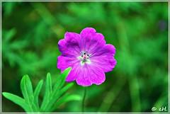 Bloody Crane's Bill (Els Herten) Tags: geranium bloodycranesbill purple flower macro bokeh