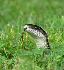"""Just Saying """"Hello"""" (Lisa Zins) Tags: lisazins tn tennessee tennesseewildlife snake snakesoftennessee ratsnake chickensnake grayratsnake pantherophis spiloides constrictor macro tongue snaketongue canon powershot sx500 nonvenomous herpetology serpentes serpent outdoors 2018 may spring animals reptile"""