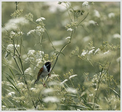 Reed Bunting skulking in the weeds (jim197328) Tags: duck gm water birds reedbunting sony a7 reeds greylag marsh