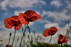 vestidas de rojo (Montse Cascales) Tags: inspiacionbdf62 amapola rojo red primavera