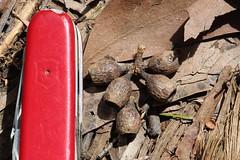 Eucalyptus obliqua capsules Hosmers (J. B. Friday) Tags: eucalyptus myrtaceae eucalyptusobliqua
