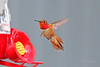 Rufous Hummingbird Flying 18-0602-2268 (digitalmarbles) Tags: rufoushummingbird rufous hummingbird male selasphorusrufus caprimulgiformes trochilidae flying flight wings fantail hummingbirdfeeder feeder colorful colourful brilliant shiny sheen iridescent macro nature wildlife animal bird birder birdphoto birdphotography wildlifephotography reifel sanctuary reifelsanctuary deltabc lowermainland bc britishcolumbia canada canoneosrebelt7i canon