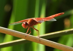 Flame Skimmer Dragonfly, male. (Ruby 2417) Tags: orange flame skimmer dragonfly insect wildlife nature northstar davis california reed
