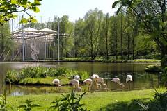 Flamingo's / Kasteeltuinen / Arcen (rob4xs) Tags: arcen kasteeltuinenarcen castlegroundsarcen schlossgärtenarcen kasteeltuinen castlegrounds schlossgärten limburgslandschap tuin garden garten park flamingo vijver pond teich meer lake see limburg nederland thenetherlands dieniederlande holland favorite niederlande