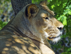 Akron Zoo 06-06-2014 - Lion 19 (David441491) Tags: lion feline bigcat akronzoo lioness