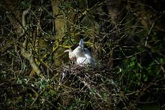 Little Egret Nesting (redape99_) Tags: nikon bird birdlife chicks cork ireland nature nest outdoors wildlife young