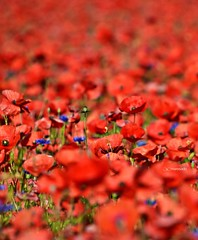 2018-06 UN MARE DI PAPAVERI (maresaDOs) Tags: red campania italia giugno 2018 natura flower pianta colore papaveri poppies fleurs pavot flor amapolas rosso nature campo papavero