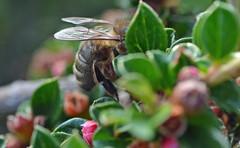honey bee on Contoneaster horozontalis (conall..) Tags: cotoneaster horozontalis closeup raynox dcr250 macro county down tullynacree nw551041 annacloy garden lane bee honeybee apis mellifera apismellifera flower