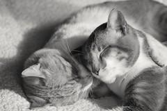 Kimo and Gris (mcg0011) Tags: kat katt katze kot neko mascota pet manuelcarrasco monocromatico blackwhite bw blancoynegro