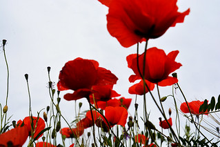 Poppies/coquelicots France_0080