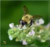 Bumble Brunch (Vidterry) Tags: bee bumblebee nikond300 nikkor105mmmicro 11250thf32 iso400 ev23 handheld