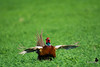 Pheasant Call - Ring Necked Pheasant - Phasianus colchicus (bloomfieldimages) Tags: palouse ring necked pheasant bird mating call