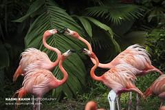 Flamingos - Jurong Bird Park, Singapore (Naomi Rahim (thanks for 3.9 million visits)) Tags: singapore 2017 asia travel travelphotography nikon nikond7200 wanderlust birds pink flamingos tropical jurong zoo sanctuary funny