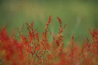 Crimson heathland