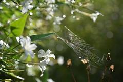 DSC_3918 (griecocathy) Tags: toile araignée fleurs jasmin feuille goutte eau brillance éclat transparence blanc vert marron ombre