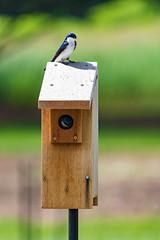 Good Neighbors (RB Smith ~ Freelance Photographer) Tags: swallow barn bird birds pair house neighbors neighbor outdoor serene tender watchful curious nonperson nature blue