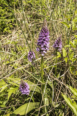 Common Spotted-Orchid (david_allott) Tags: orchid earlymarshorchid nationaltrust wales stackpole pembroke sanddunes