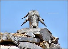 Chèvre de Crète (arno18☮) Tags: chèvre crète grèce cièl bleu nikon
