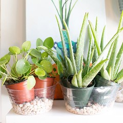 We're all stocked up on Aloe for you plant lovers that like to enjoy the sun and might just get a little to sun-kissed. Simply cut off a piece of its leaf and dab a little of its gel on you for instant relief. (The ZEN Succulent) Tags: the zen succulent terrarium instagram