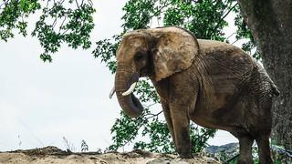 elephant- 5352