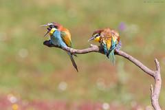 Egagrópila (sergio estevez) Tags: aves bokeh campodegibraltar color fauna abejaruco nikonafs300mmf4 naturaleza pajaros posadero sergioestevez