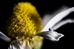 Santuario... (Altazur) Tags: 7dwf closeup contrast lowkey sidelit seed semilladeamapola yellow flower flora daisy springtime