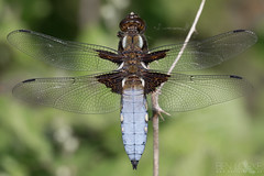 Broad-bodied Chaser (Ben Locke.) Tags: broadbodiedchaser dragonfly insect wild wildlife nature forestofdean