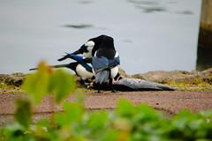 Magpies eating dead carp, West Park (Dave_A_2007) Tags: corvidae picapica bird crow magpie nature wildlife wolverhampton westmidlands england